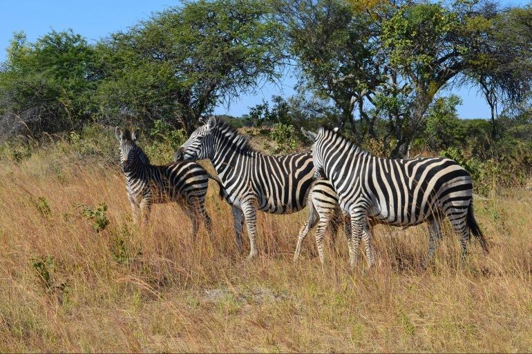 Wildlife view of Zimbabwe, Africa
