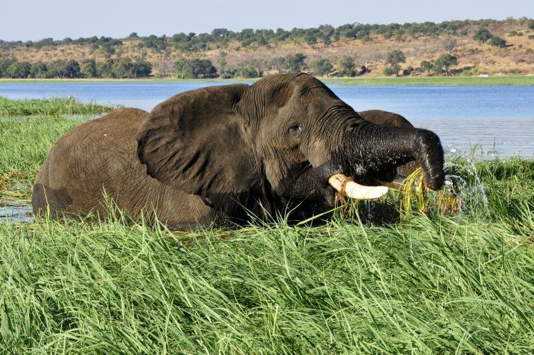 Elepahant near river-Chobe-Africa_73130_P