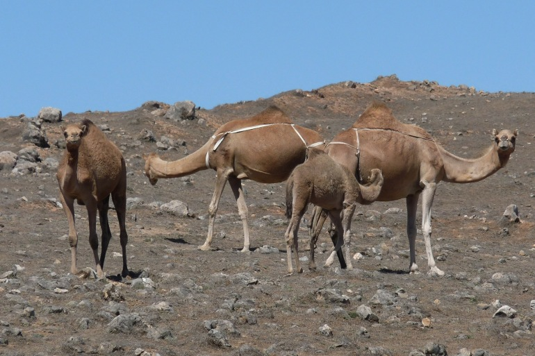 Group of Camels-Morocco-210833-P.jpg