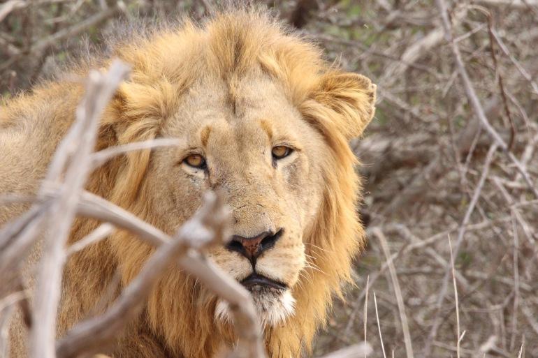 Lion kruger-Africa_2843871_P