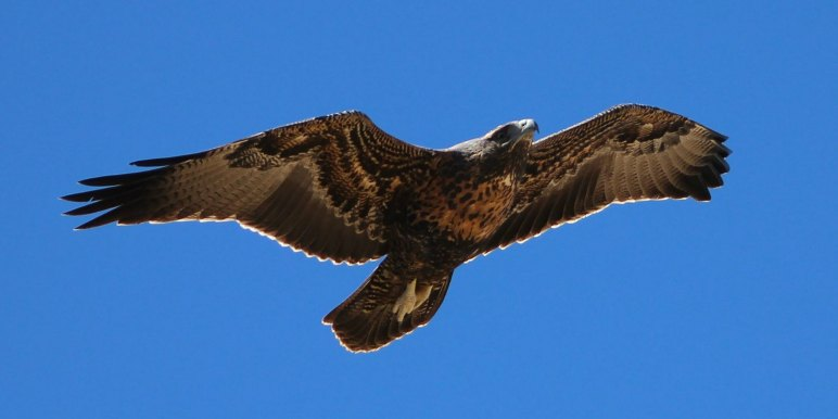Large condor in Chile