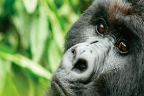 Gorillas & Chimps In Depth tour