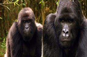 Mountain Gorillas of Rwanda tour