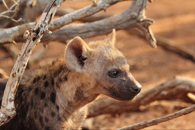 Hyena Predator Wildlife-Africa-1036463-p