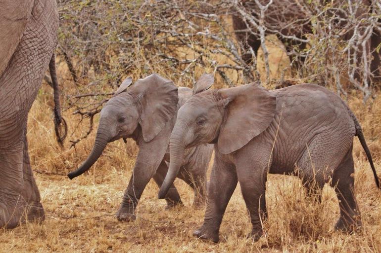 Elephant Babies View at Serengeti National Park, Tanzania