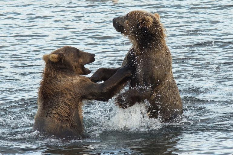 Kodiak Brown Bears View, United States