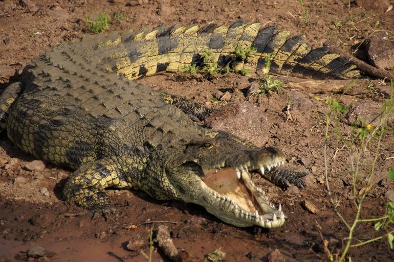 Colourful Crocodile-Botswana-Africa-2692421-1920-P
