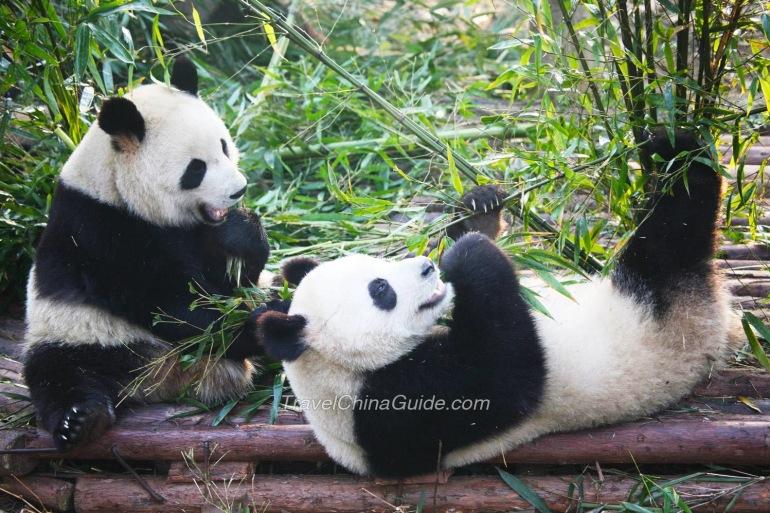 Pandas in Panda Centre, China