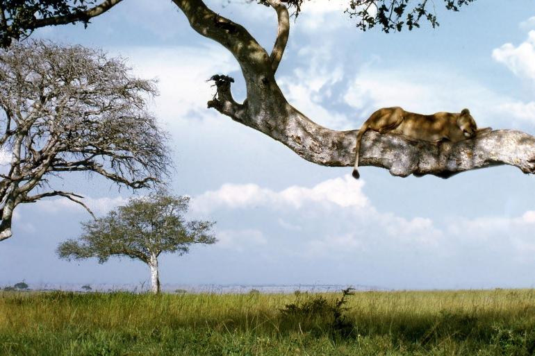 Wild Lion View at Queen Elizabeth National, Uganda
