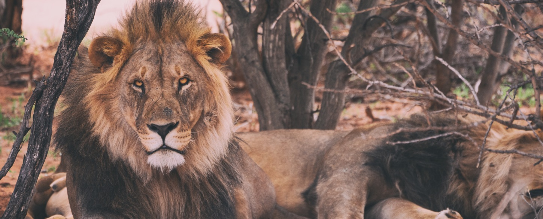 Lion roaming the safari in Namibia